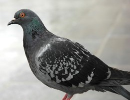 Pigeon.jpg#asset:6356