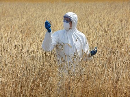 Genetically Modified Crops - Stock Image